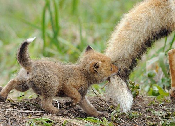 Насладитесь милыми фотографиями рыжей лисы - №6