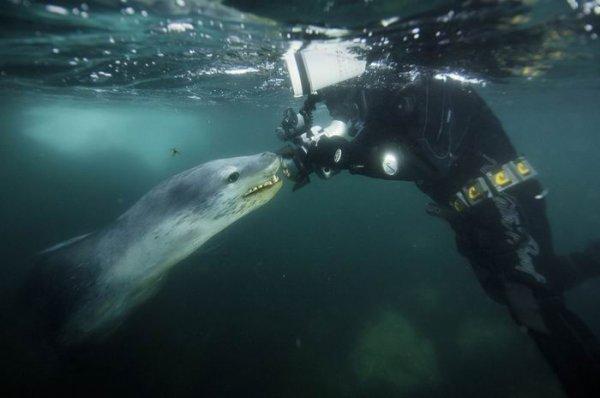 """Разинув огромную пасть морской леопард по-своему """"исследовал"""" Пола: хищник осторожно взял в свою клыкастую пасть голову фотографа и его камеру..."""