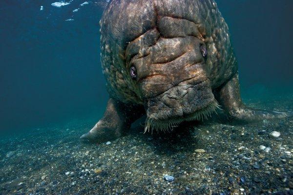 Крупный самец моржа плывет назад к берегам Принс Карл Форланд после того, как долго нырял и ел моллюсков. Шпицберген, Норвегия.