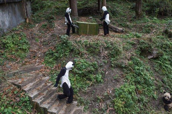 Китайская панда