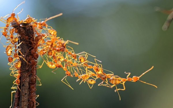 Удачные кадры - Группа муравьев-ткачей, Индонезия. Solent
