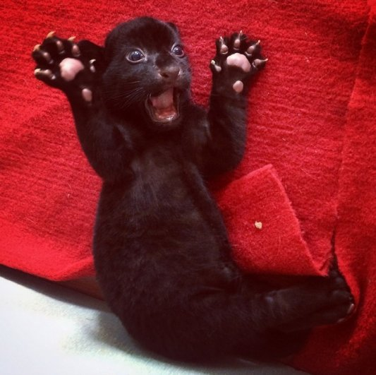 черный тигр фото