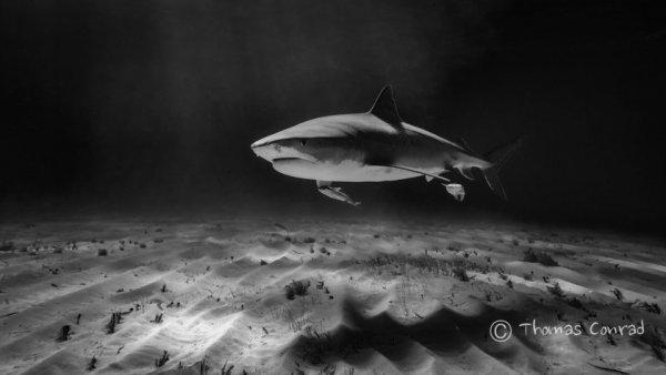 Опасные акулы Фото: Томас Конрад