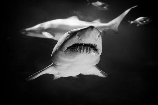 акулы опасные для человека Фото: Роберто Павич